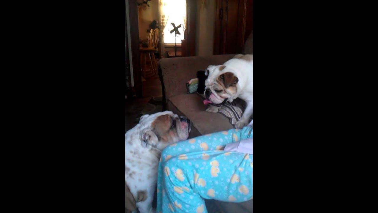 mini bulldog playing with full size one - YouTube
