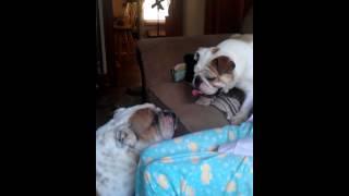 Mini Bulldog Playing With Full Size One