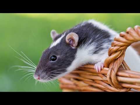 Как избавиться от запаха крысы в клетке?