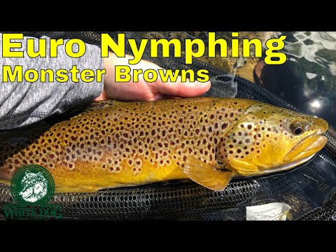 Euro Nymphing Monster Brown Trout - Fly Fishing Upstate New York