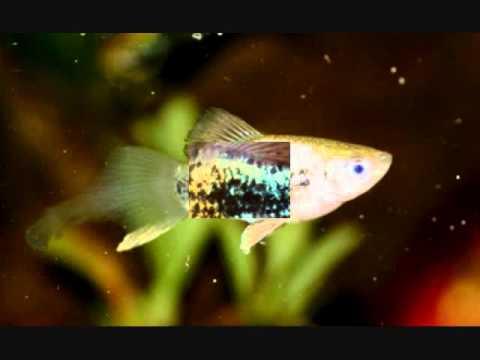 Platy Fish (Xiphophorus Maculatus) Hybrids- Thushan Kapurusinghe From Sri Lanka