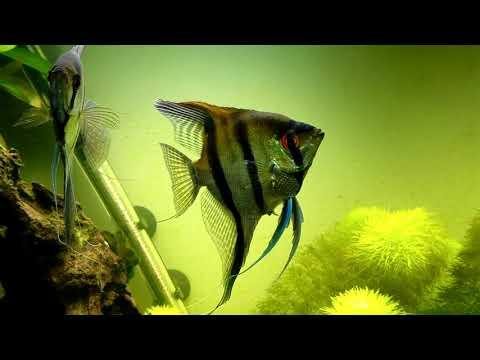 Philippine Blue Angelfish Update