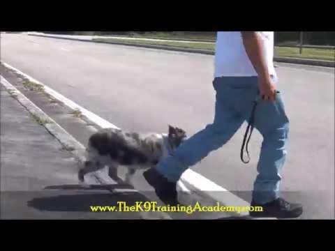 The K9 Training Academy - 2 Australian Shepherds with Advance Obedience