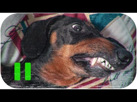 The most biting dog breed ever!!! Cute & funny dachshund dog video!