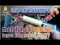 Cara meloloh lovebird itu berapa jam sekali sih ( ini penjelasnnya ) || LOVEBIRD farm