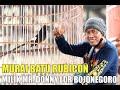 Full Power Jawara Di Tiket   Juta Kualitas Murai Batu Rubicon Milik Mr Donny Ldr Bojonegoro  Mp3 - Mp4 Download