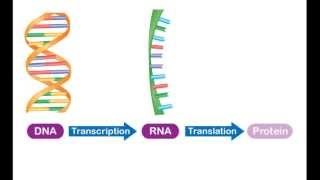 Chromosomes, Genes, and DNA - Overview: From DNA to Protein