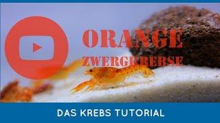 Oranger Zwergflusskrebs Tutorial Teil 1
