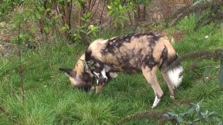 The Nature of African Wild Dogs