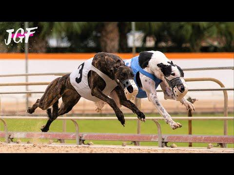 British Greyhound Dog Race - Track Racing - Distance 695m