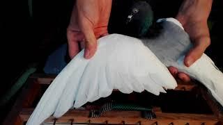 Gołębie ozdobne na sprzedaż.