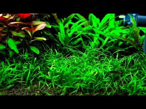 Plantas Aquáticas - Alternanthera Reineckii Splendida  - Plantas para Fundo de Aquários