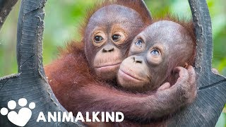 Baby orangutan goes from wire cage to swinging in trees 🐒 | Animalkind