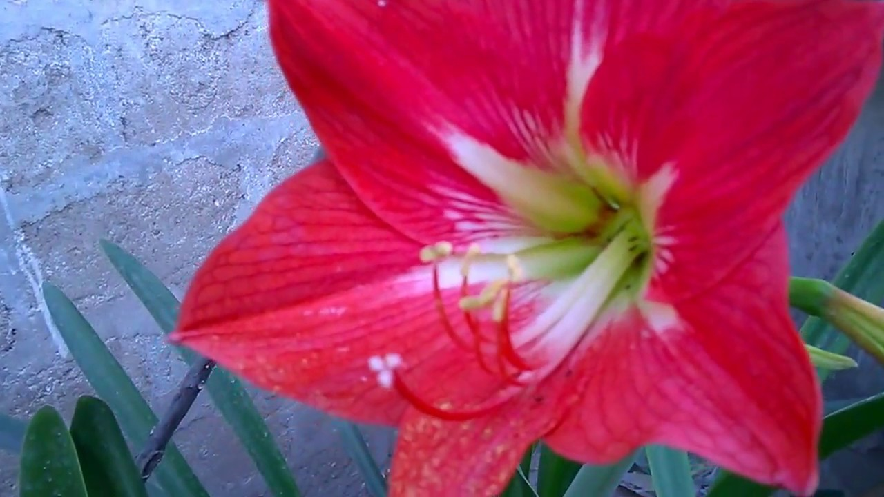 The beautiful red amaryllis lilly flower youtube the beautiful red amaryllis lilly flower izmirmasajfo