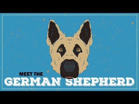 Breed Profile: The German Shepherd