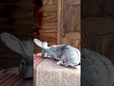 Кролик Великан -