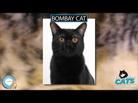 Bombay cat 🐱🦁🐯 EVERYTHING CATS 🐯🦁🐱