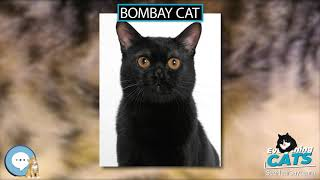 Bombay cat  EVERYTHING CATS