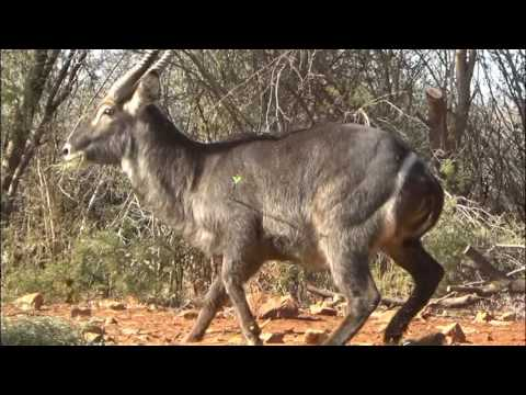 Motsomi Safaris Bow Hunting Waterbuck Dunnigan