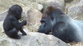 (11/26)家族を見守る父モモタロウ 2⭐️ゴリラ gorilla【京都市動物園】Father gorilla momotaro quietly watches family 2
