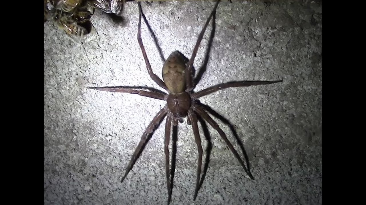 Huge Fishing Spider Is Hunting Bees At Night Youtube