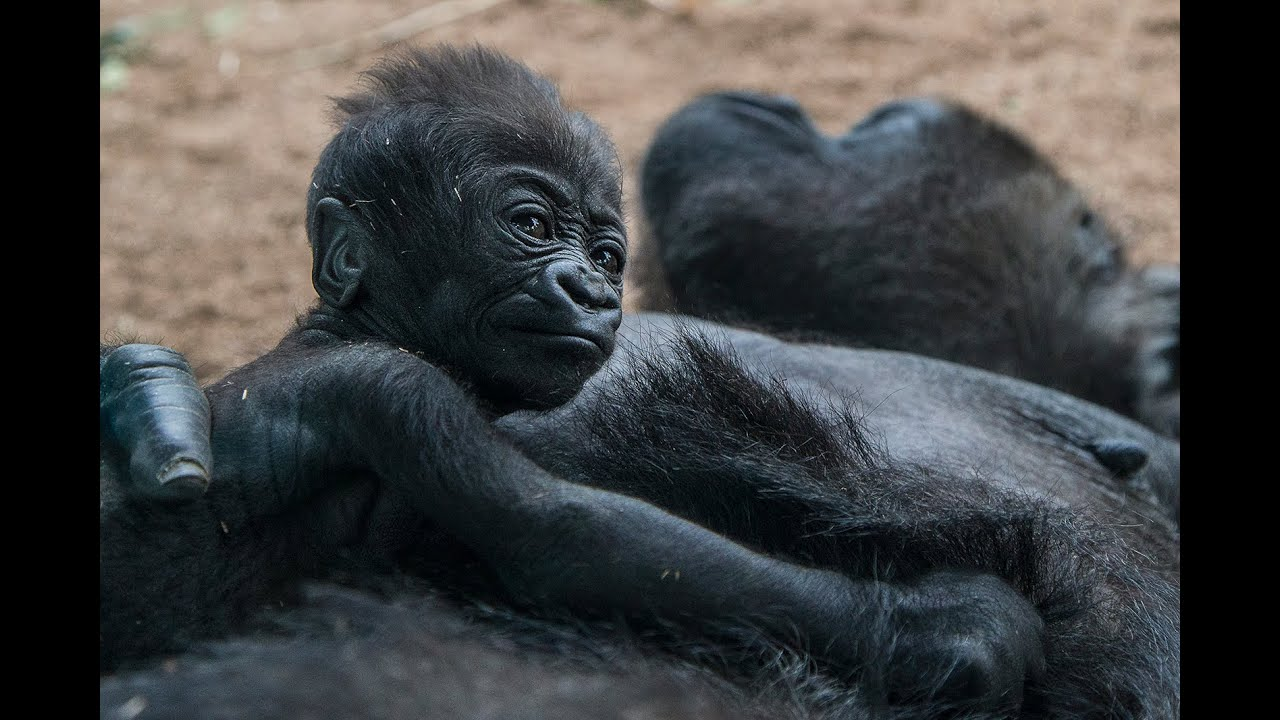5fd802851ec Baby Gorilla Sleeping and Clinging to Mom