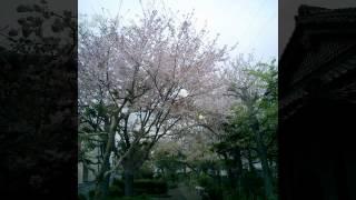 真依子 - さくらの木
