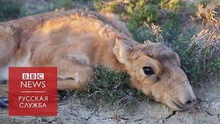 Ровесники мамонтов: как в Казахстане спасают сайгаков от вымирания? Документальный фильм Би-би-си