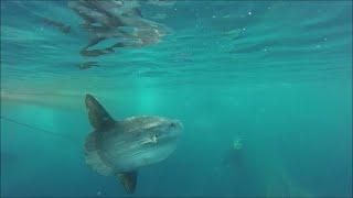 QUB Conservation: Ocean Sunfish Diet