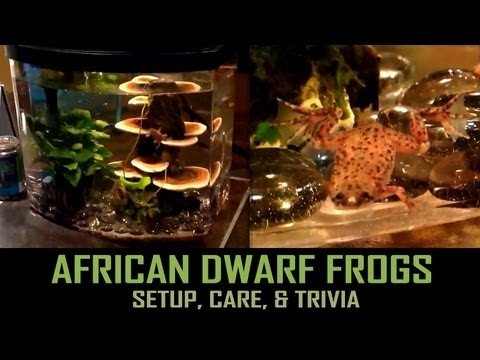 African Dwarf Frogs: Setup, Care, & Trivia