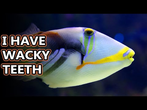Triggerfish (humuhumunukunukuapua'a) Facts: Just Try Saying Their Name | Animal Fact Files