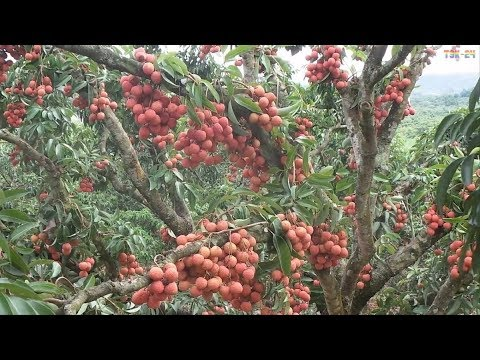 WOW! Amazing Agriculture Technology - Lychee