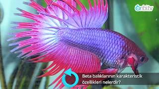 Beta balıklarının özellikleri ve üretimi