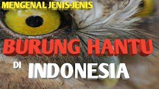 Mengenal Jenis Jenis Burung Hantu Di Indonesia