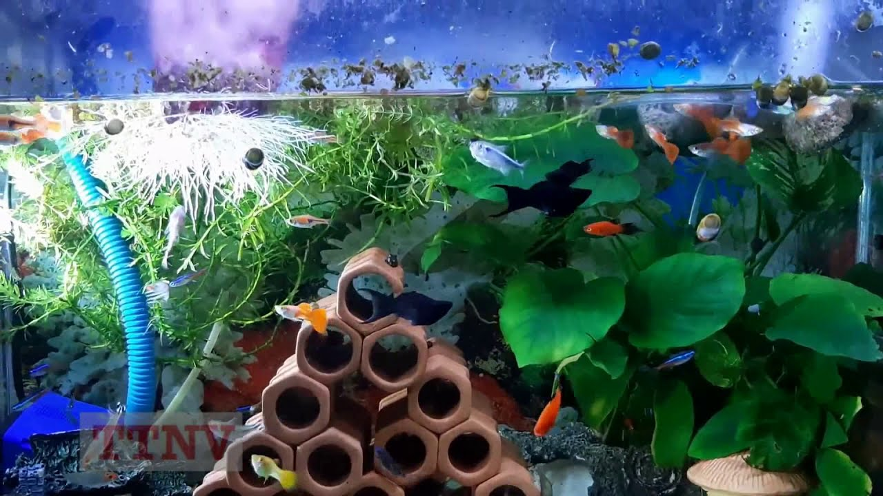 Trồng khoai lang trong bể cá cảnh (10 ngày) (VietSub)