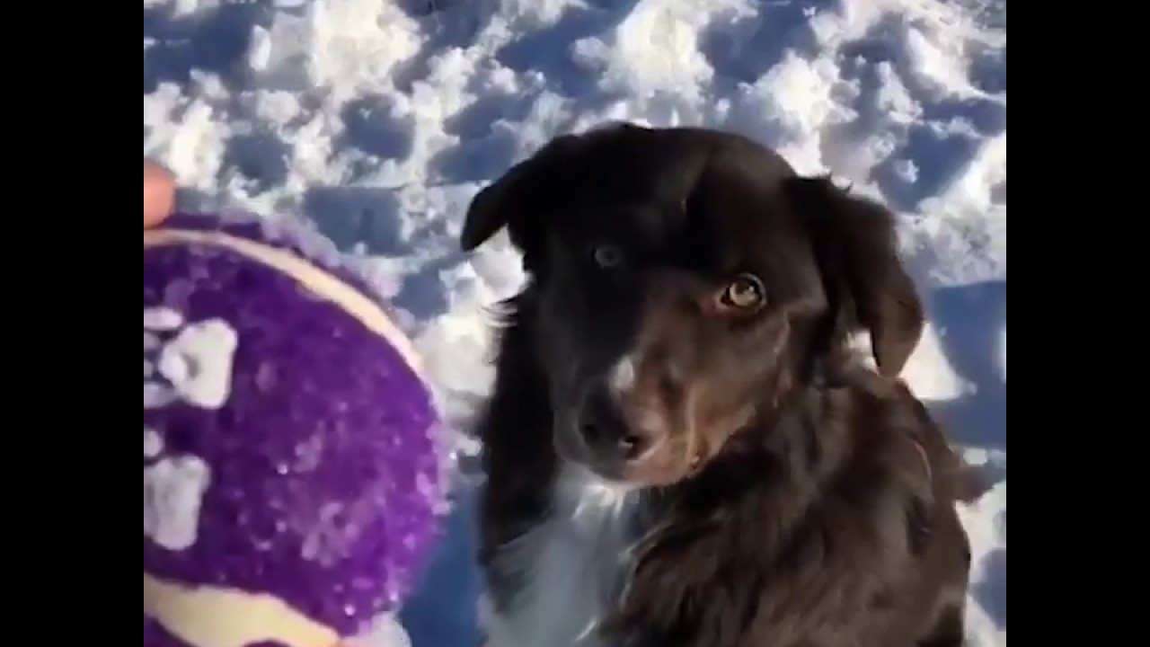 Border Collie Mix Rescue Dog For