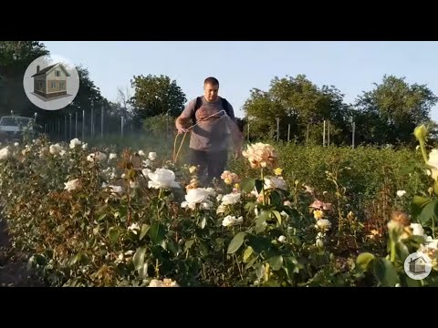 Для красивого двора саженцы роз. roza-kuban.ru