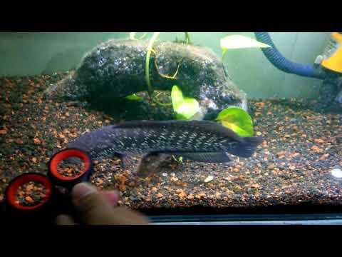 Ikan Chana Asiatika