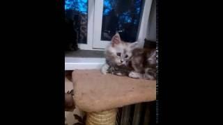 Продаю котят Мейн-кун в Екатеринбурге