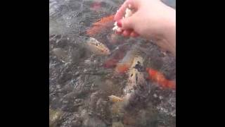 парк Гейдара Алиева Азербайджан город Гянджа!(Рыбки кушают прям из рук хлеб!, 2016-07-11T12:20:01.000Z)