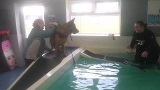 German Shepherd Greta Having Hydro Therapy