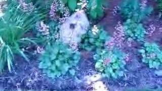 "Meet Cairn Terrier ""gavin"" With Cairn Rescue Usa"