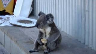 Repeat youtube video Sensation - Koala eating an apple!