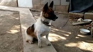 видео Два кобеля и течная сука, управление поведением, дрессировка собак