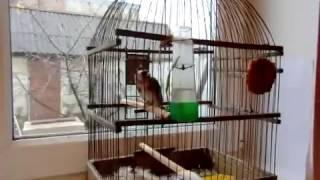 Щегол , звать Чик , ручная птичка