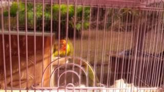 LOVE BIRD GACOR CEREWET COCOK UNTUK MASTERAN