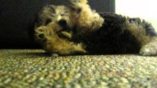 Copy Of Yorkshire Terrier Poodle (yorkiepoo) Puppy Chases Ice