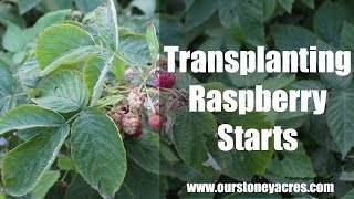 Gardening Tips:  Transplanting Raspberries (Ep 9)
