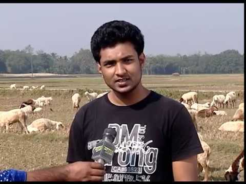 please contact 01729509526 Now the owner of lakhlakh money is following two sheep ভেড়া বা গাড়ল ক্রয়