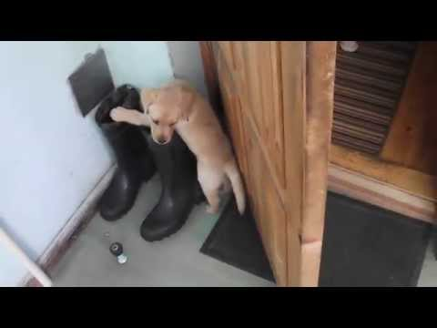 8 weeks old labrador puppy want to eat